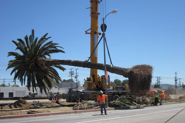 <p>Palm tree relocation&nbsp;</p>